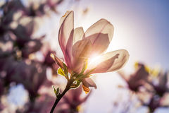 Magnolia flowers on a blury background at sunset Royalty Free Stock Image