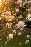 Magnolia flowers on a blury background at sunset. Magnolia flowers close up on a blur green grass and leaves backlit background at sunset Royalty Free Stock Images
