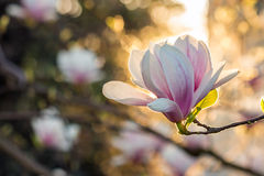 Magnolia flowers on a blury backlit background Stock Image