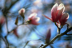 Magnolia flowers Stock Photography