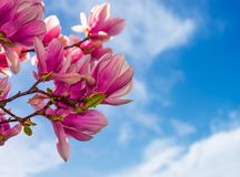 Magnolia flowers on a blue sky background. Magnolia flowers branch on a blue sky background Stock Image