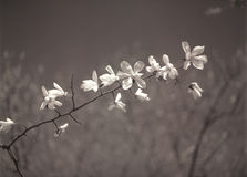 Magnolia flowers. Royalty Free Stock Images