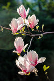 Magnolia flowers close up on a blurred  background. Few magnolia flowers close up on a blurred background Stock Photos