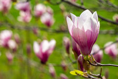 Magnolia flowers close up on a green grass background. Three magnolia flowers close up on a green grass background Royalty Free Stock Image