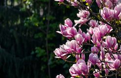 Magnolia flowers on a blurry background. Magnolia flowers close up with shallow depth of field on a blur background royalty free stock photography