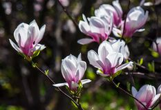 Magnolia flowers on a blurry background. Magnolia flowers close up with shallow depth of field on a blur background Stock Photography
