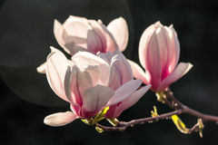 Magnolia flowers on a dark  background. Magnolia flowers close up with shallow depth of field on a blurry dark background of a garden Stock Photography