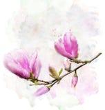 Magnolia Flowers Stock Photography