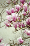 Magnolia flowers at the end of the branches Royalty Free Stock Photo