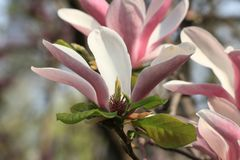 Magnolia(Magnolia denudata). Magnolia flowers are of fine quality, straight texture and fine structure, for furniture, drawing boards, joinery and so royalty free stock image