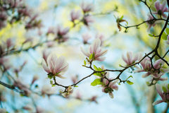 Magnolia Flowers Royalty Free Stock Photography