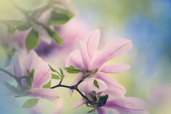Magnolia Flowers Royalty Free Stock Images