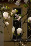 Magnolia flowers in front of a window. Beautiful spring blossom background royalty free stock photo