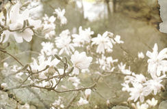 Magnolia flowers in a garden in vintage style Royalty Free Stock Photography