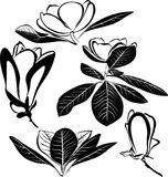Magnolia flowers isolated. On white background vector illustration