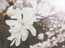 Magnolia flowers, muted colors. High key stock photos