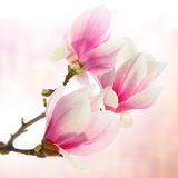 Magnolia flowers on pink Stock Photos