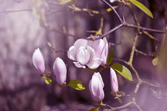 Magnolia flowers in pink Stock Photos