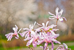 Magnolia Flowers Royalty Free Stock Photos