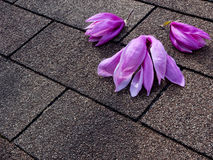 Magnolia flowers on the roof Royalty Free Stock Image