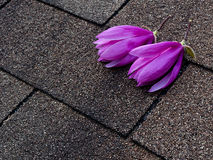 Magnolia flowers on the roof Stock Photo