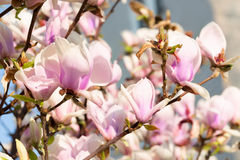 Magnolia flowers on the sky background Royalty Free Stock Image