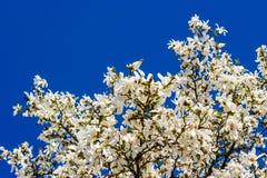 Magnolia flowers on a sky background. Magnolia flowers close up on a blue sky background Stock Photo