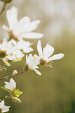 Magnolia flowers in spring garden Stock Photography