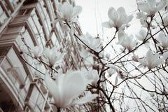 The magnolia flowers in spring season - black and white. Magnolia flowers in spring season - black and white Royalty Free Stock Photos