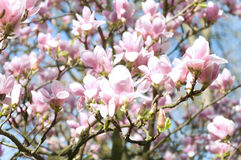 Magnolia flowers. spring tenderness Royalty Free Stock Photos