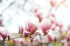 Magnolia flowers in spring time, floral background stock images