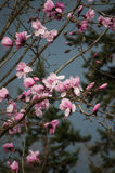 Magnolia flowers on a stormy dark sky background. Vertical royalty free stock photo