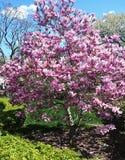 Magnolia flowers on a tree against the sky Stock Photos