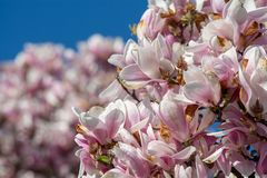 Magnolia Flowers Tree With Blue Sky In The Spring In Bucharest