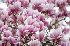 Magnolia flowers Royalty Free Stock Image