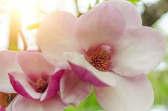 Magnolia flowers on the tree. Spring is in full force stock images