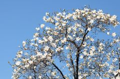 Magnolia flowers tree Stock Photos