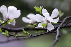 Magnolia flowers under the rain Royalty Free Stock Images