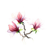 The magnolia flowers watercolor isolated Royalty Free Stock Photo