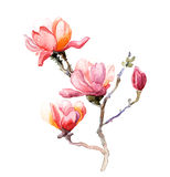 The magnolia flowers watercolor isolated Stock Photography