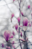 Magnolia flowers in Yalta. Pink magnolia flowers.  Royalty Free Stock Photo