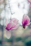 Magnolia flowers in Yalta. Pink magnolia flowers.  Stock Photography