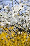 Magnolia flowers Stock Images