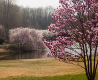 Magnolia frames cherry blossoms in Washington Royalty Free Stock Image