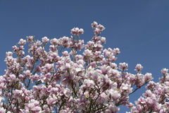 Magnolia. In front of clear blue sky royalty free stock photography