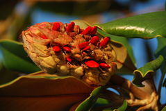 Magnolia fruit with seeds Stock Images