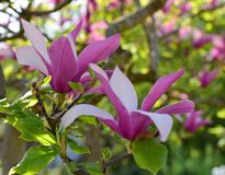 Magnolia in full bloom. Pink and white. Magnolia flowers on tree branch. Pink and white flowers, spring background Royalty Free Stock Images