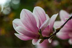 Magnolia in the garden Royalty Free Stock Photography