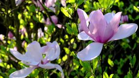 Magnolia garden in spring season full blossom stock footage