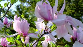 Magnolia garden in spring season full blossom stock video